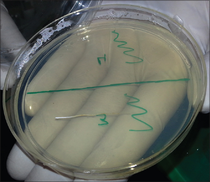 Figure 3: Paper point transferred to agar plate